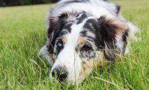 white and black short fur coated dog