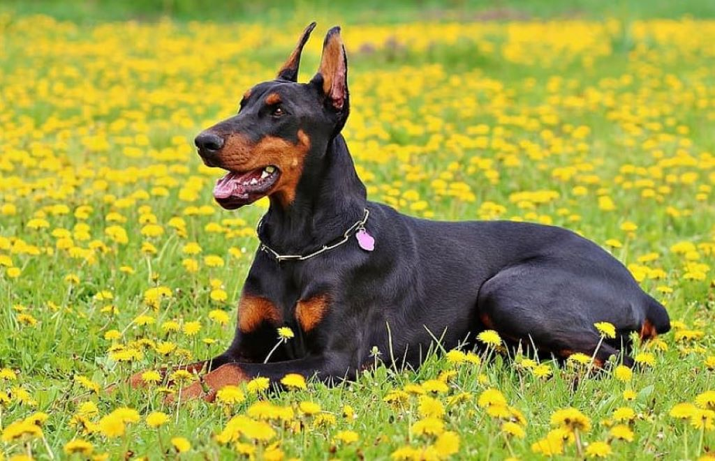 Adult black and tan Doberman pinscher lying on yellow petaled flower field during daytime