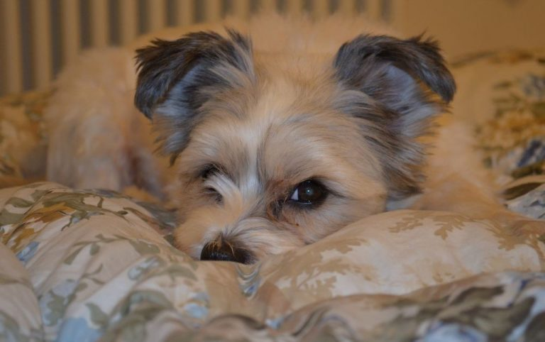puppy lying down in bed