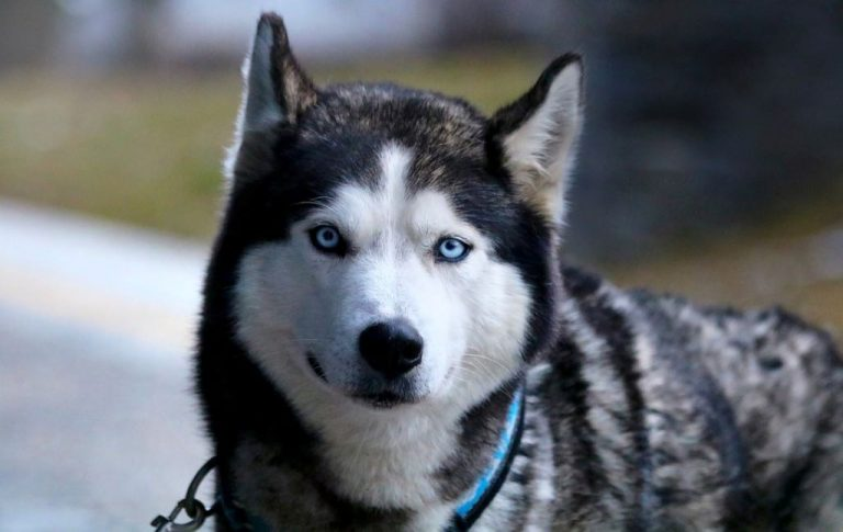 white and black husky dog wearing a blue leash